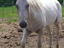 Standing at Stud Palomino Few Spot Foundation Bred Appaloosa Colt...