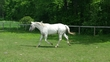 Standing at Stud Palomino Few Spot Foundation Bred Appaloosa Colt Stallion for sale in United States of America
