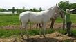 Standing at Stud Palomino Few Spot Foundation Bred Appaloosa Colt Stallion for sale