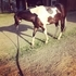 PRICE REDUCED Beautiful Paint Gelding