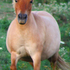 Gorgeous Red Dun Roan Mare!!!