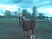 Pleasure bred yearling colt for sale