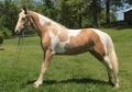 Gorgeous Palomino Spotted Gelding