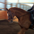 4th Level Dressage Horse