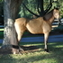 Buckskin Tennessee Walking Horse For Sale