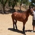 Mustang Mare Trail Horse. Great Conformation.