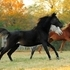 Black SE Arabian Mare - rides, produced two gorgeous black fillies