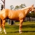 Gorgeous gelding. Bloodlines to be top 5 at world shows
