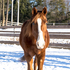 Beautiful TWH gelding, safe & sane