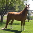 Sensational Sweepstakes Arab Gelding