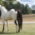 OVERO STALLION FOR SALE