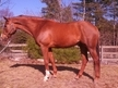 Fancy Registered QH Gelding For Sale