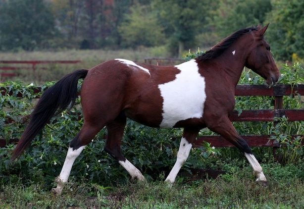 Stunning Half-Andalusian Gelding