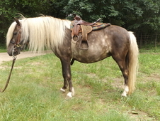 Beautiful silver dapple children's pony