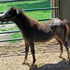 AMHR miniature mares and foals -rehoming fee applies