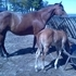 10yr. Reg mare in foal to own son of Hollywood Dunit