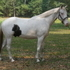 Pinto Sporthorse gelding for Sale
