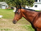 AQHA All Around stallion for stud. for sale in United States of America