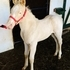 Gorgeous AQHA Cremello Stud Colt-Valuable Foundation Lines