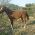 Beautiful Athletic Arabian Gelding