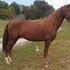 8 yro Registered Morgan Gelding