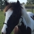 Wonderful Gypsy Vanner Gelding