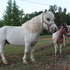 Miniature Appaloosa Stallion