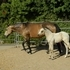 Georgeous Buckskin mare and buckskin foal