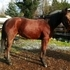 Stunning 6 year old Standardbred mare