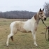 Buckskin Tobiano Filly