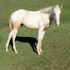 Palomino tobiano filly