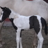 2015 APHA filly