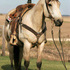 Beginner ridden buttermilk buckskin
