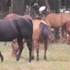Quarter Horse Breeding Program Dispersal