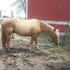 beautiful palomino for sale