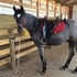 Click to see photo 2 Y/O Homozygos Blue Roan Filly