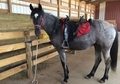 Blue Roan Filly 2 Y/O