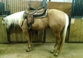 Beautiful athletic palomino foundation mare for sale