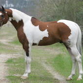At Stud Pintabian stallion