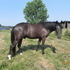 Smooth Gaited Smokey Black FT cross