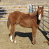 Pretty Sorrel Filly