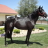 Jet black friendly andalusian filly under saddle soon