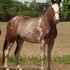 SOLD---Flashy - Naturaly Gaited Gelding