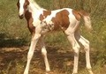 Chestnut Tobiano Pintabian Filly 99.6% Arabian