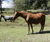 Sorrel Broodmare - Chance for sale in United States of America