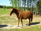 Sorrel Broodmare - Chance for sale