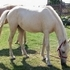 Reg Palomino 2 yr old filly