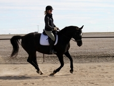 Amateur's dream! - dressage/hunter