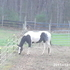 gentle black & white, filly green broke shown in halter