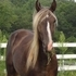 Tycoon-Rocky Mountain Stallion!!!